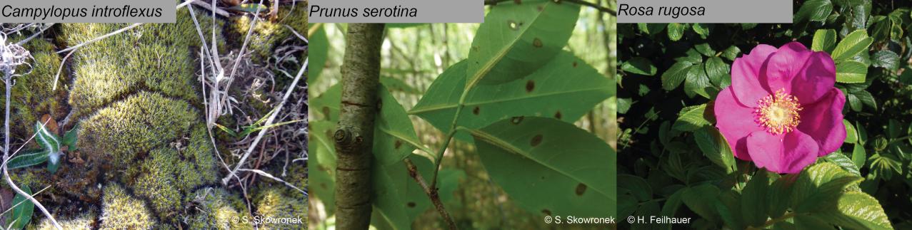 Three different invasive alien plant species
